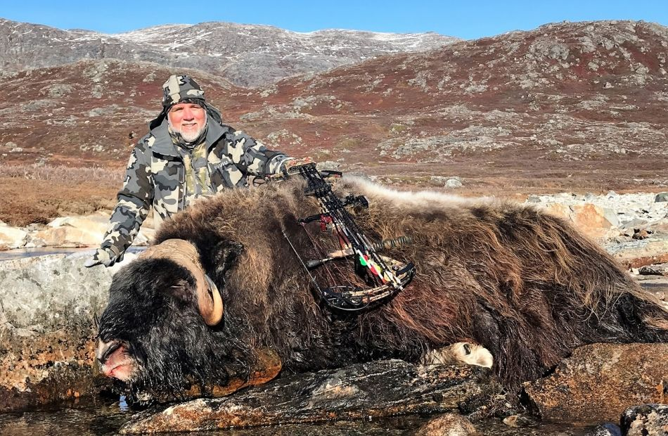 Muskox bow hunting