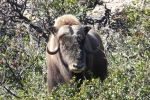 Muskox bowhunting bull