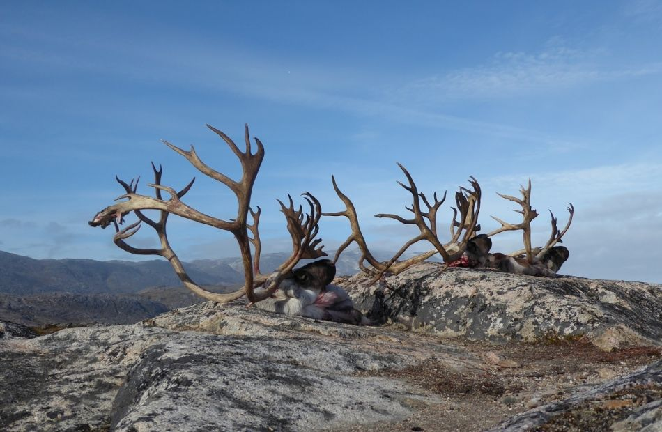 Spot and stalk bow hunting in Greenland