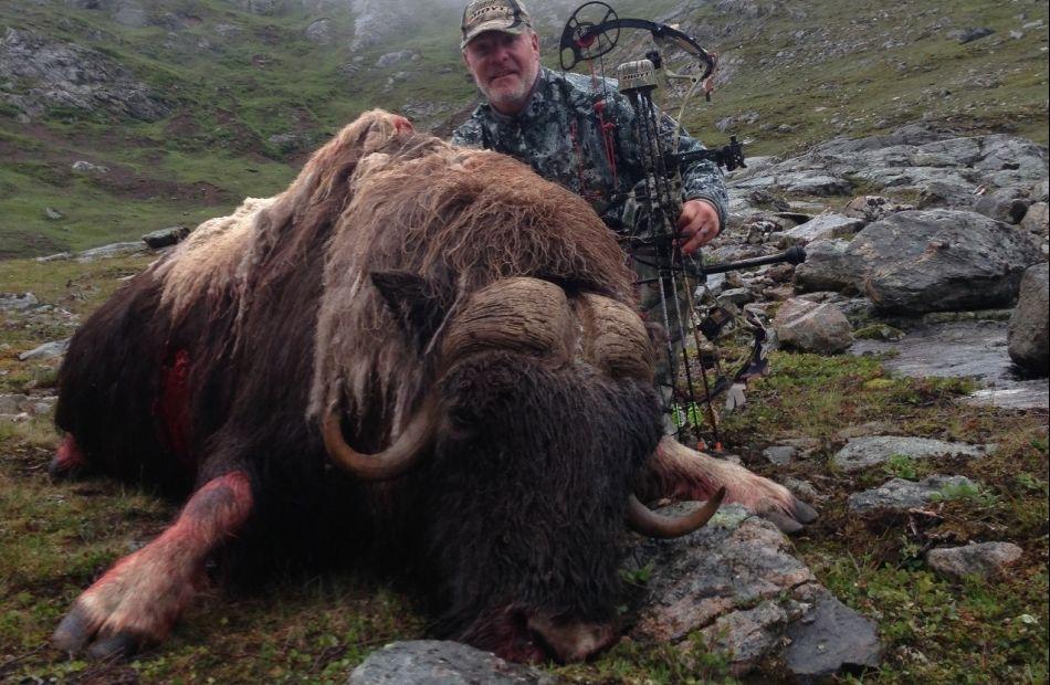 Musk ox hunting Greenland