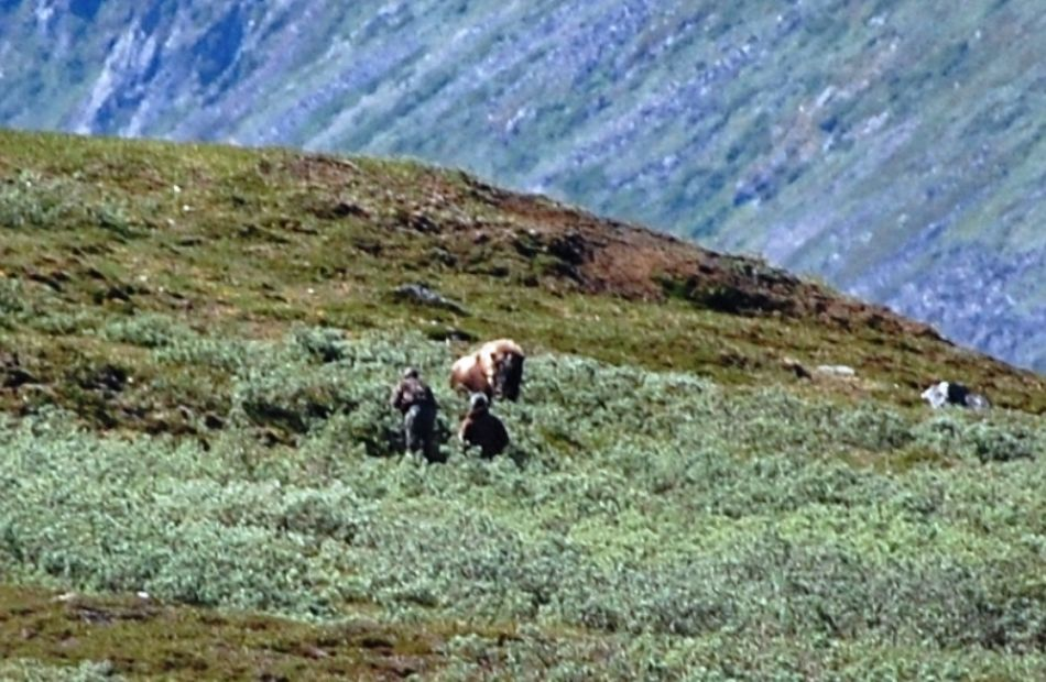 Spot and stalk musk ox hunting in Greenland